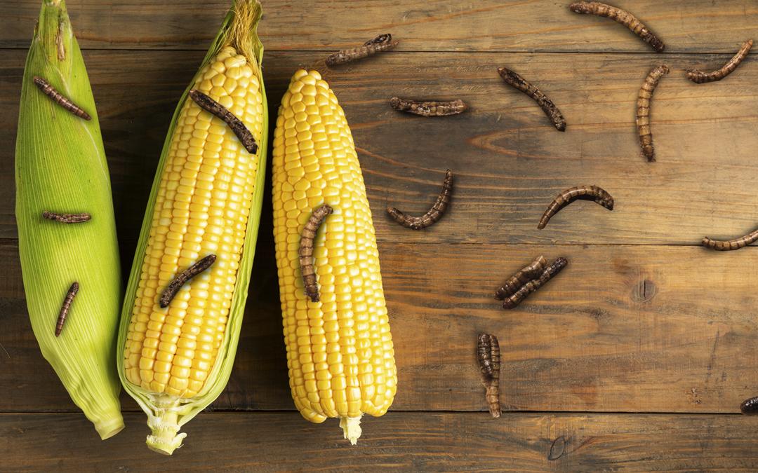Gusano cogollero ataca cultivos transgénicos de algodón y maíz