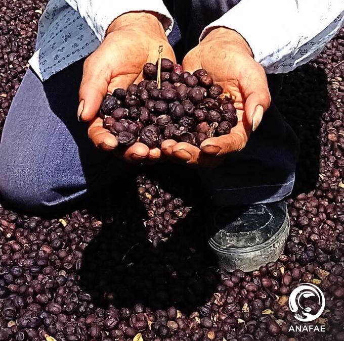 Sabías que, una libra de café produce alrededor de 35 a 40 tazas.